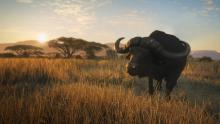 Find buffalos and lions in the Vurhonga Savanna